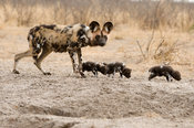 Wild dog  with pups at a den (Lycaon pictus), Central Kalahari, Botswana