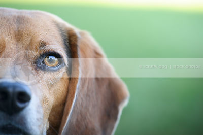 closeup of beagle dog eye with minimal background