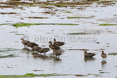 Yellow-Billed Pintail (Anas georgica spinicauda) at Caulin, Chiloe Island, Chile