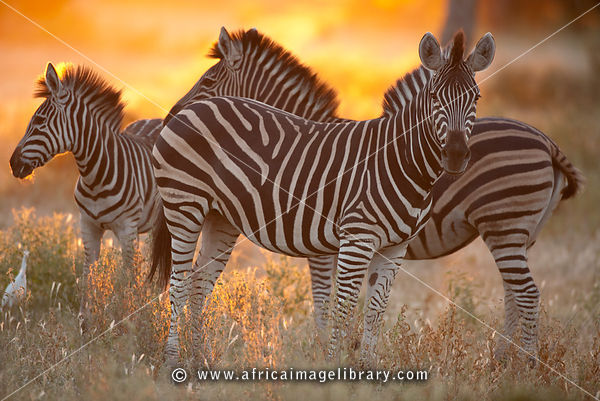 Burchell's zebra at sunset (Equus burchellii), Mashatu Game Reserve, tuli block, Botswana