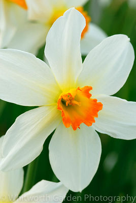 Narcissus 'Lucifer'. © Rob Whitworth