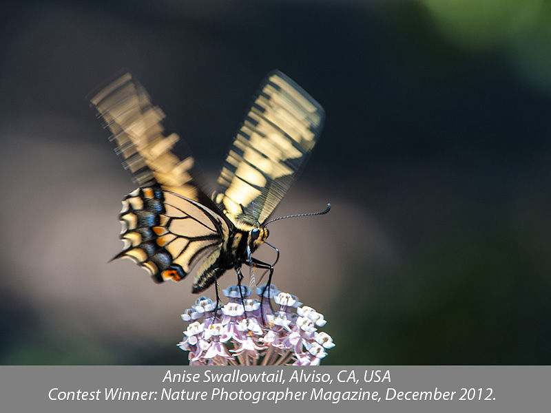 Anise Swallowtail Butterfly, Alviso, CA, USA