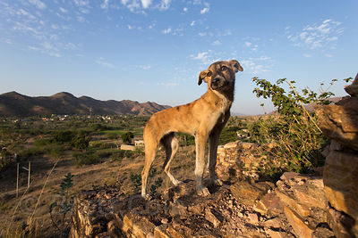Street dog standing on an old ruined temple atop a hill overlooking the auspcious Budha Pushkar temple complex, Rajasthan, India