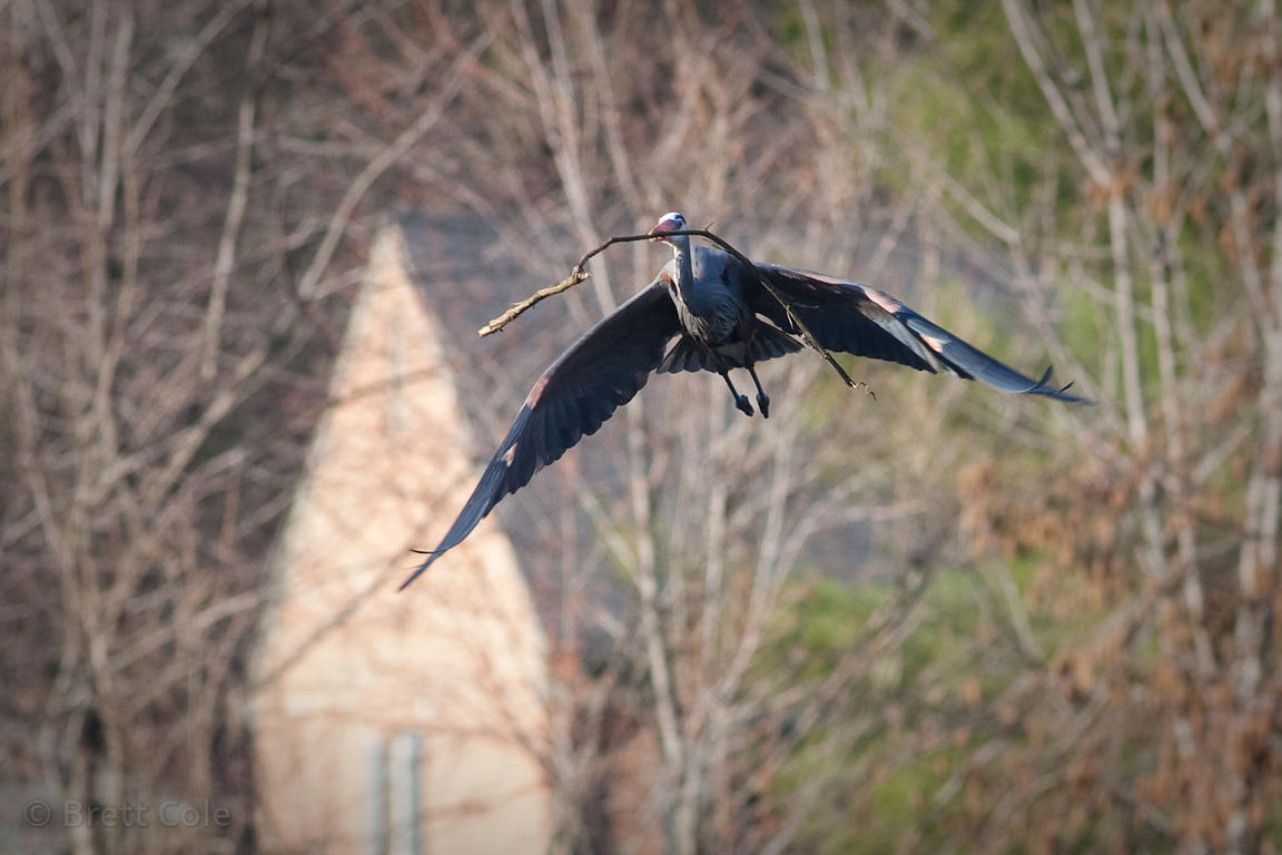 Great Blue Heron (Ardea herodias) flying in front of single family houses, Lake Whetstone, Montgomery Village, Maryland