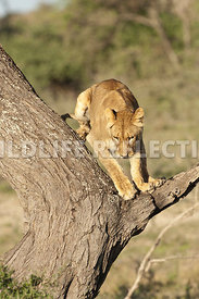 Lioness Pre Jump 4