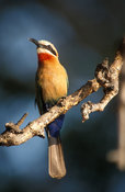White-fronted bee-eater, Merops bullockoides, Kafue National Park, Zambia