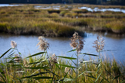 Grasses at a wetlands in New Jersey