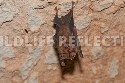 funnel_eared_bat_hanging_8