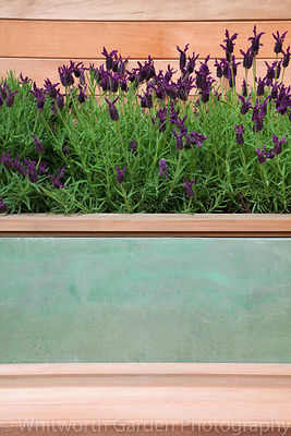 A raised bed planted with Lavandula stoechas behind a seat in The Marshalls Living Street garden, designed by Ian Dexter at t...