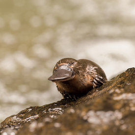 Platypus wildlife photos