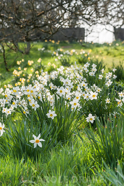 Naturalized daffodils in the orchard at Cotehele, Cornwall, UK