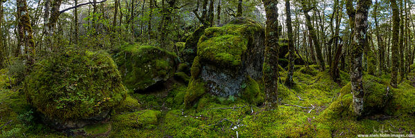 Native forest, Nelson Lakes National Park - New Zealand