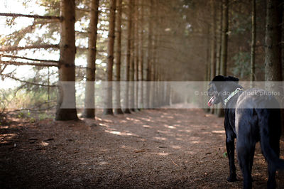 black dog from behind looking away in pine forest