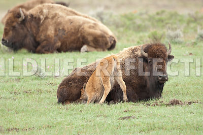 bison_nursing_attempt