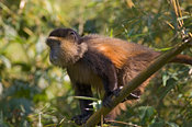 Rwanda, Parc National des Volcans, Volcanos National Park, Golden monkey (cercopithecus kandti)