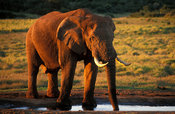 Elephant drinking, Loxodonta africana africana, Addo Elephant National Park, South Africa