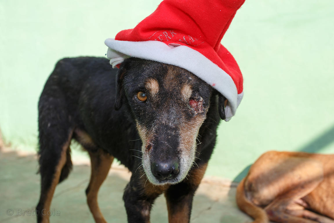 Dog in a Santa hat missing one eye on Christmas day at the Tree of Life for Animals rescue center (tolfa.org.uk) near Pushkar...