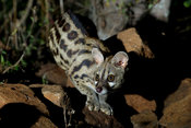 Large-spotted genet (Genetta tigrina), Ithala Game Reserve, South Africa