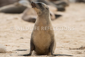 galapagos_sea_lion_santa_fe_sand_pup_close_pose-1