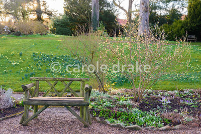 Wooden seat beside Chimonanthus praecox, winter sweet, at Hodsock Priory, Blyth, Notts
