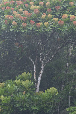 Unidentified rainforest tree with spectacular large flowers, Caribbean slope, Costa Rica.