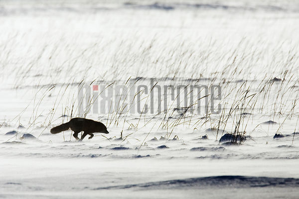 Red fox (Vulpes vulpes) running across snowy landscape, side view