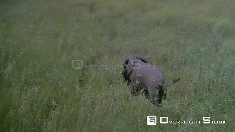 Aerial wide angle shot elephant walking through tall grass and shallow water Zimbabwe
