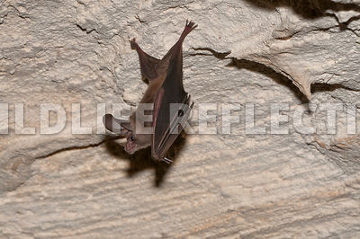 waterhouse_bat_hanging_1