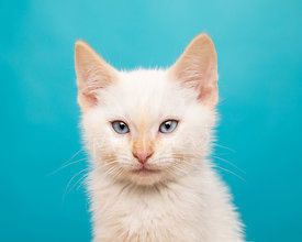 Close-up Studio Portrait of White Kitten with Blue Eyes against Blue Background