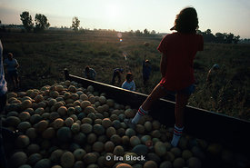 Community members picking melons, Kibbutz Gezer, Israel