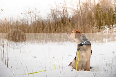 black and tan dog looking away sitting in snow field