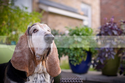 portrait of old basset hound dog at yard patio at home