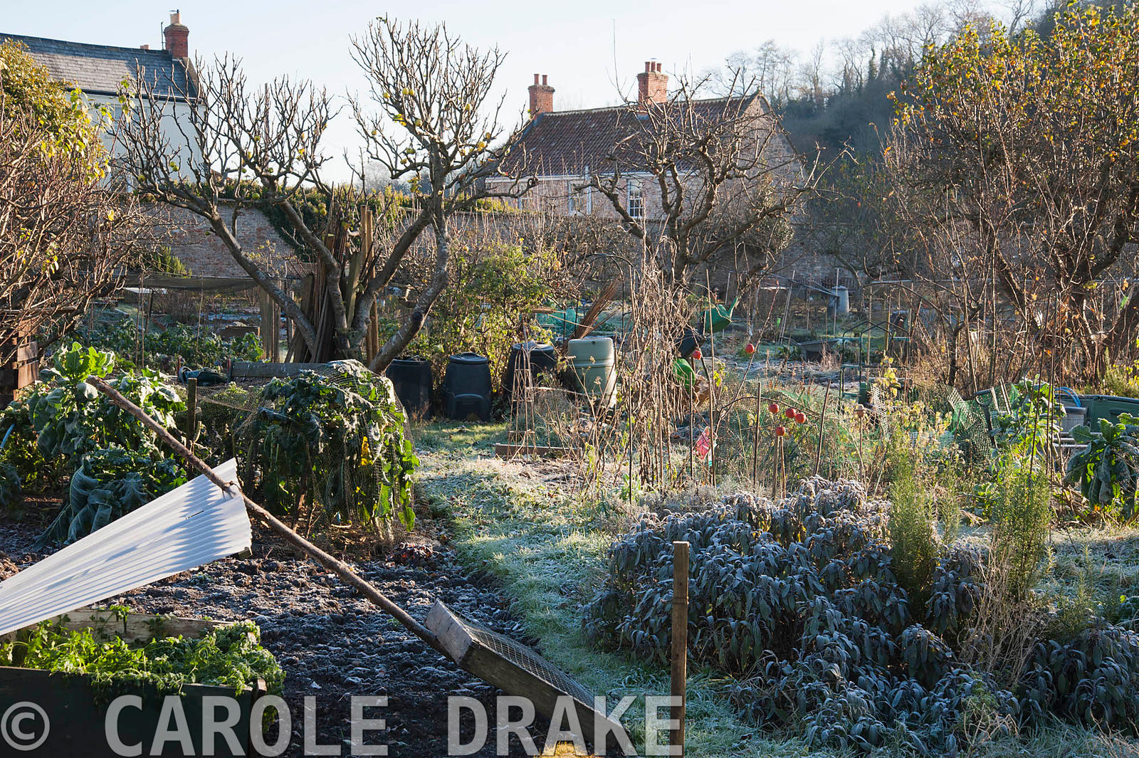 Community allotments on a November morning at the Bishop's Palace garden, Wells