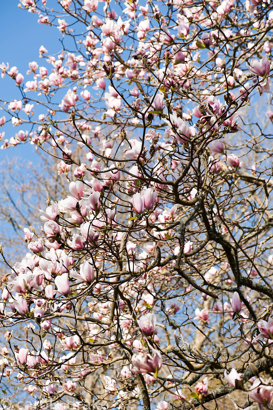 View up through a magnolia in Nelson's Field. Cotehele, Cornwall, UK