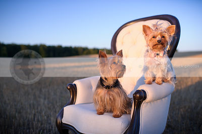 two sweet yorkie dogs sitting on chair at sunset in wheatfield