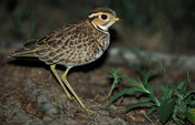 Three-banded courser, Rhinoptilus cinctus, Hwange National Park, Zimbabwe