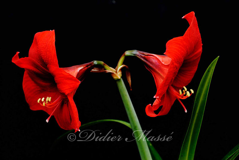 Duo d'amaryllis Ennery Val d'Oise 06/12