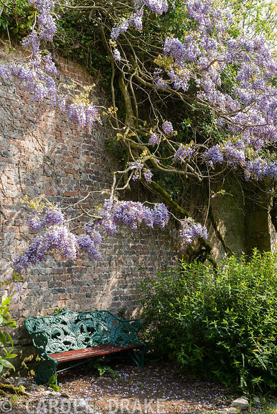 Wisteria arches over a fern seat in the Flower Garden. Enys Gardens, St Gluvias, Penryn, Cornwall, UK