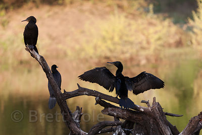 Cormorants, Keoladeo National Park, Bharatpur, India