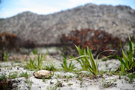 Green shoots of fynbos two months after wild fire