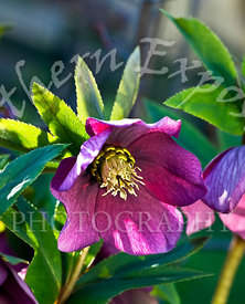 Red_Hellebore_-_unsharpened