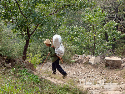 man carries a heavy load of chestnuts down from where they grow around the Great Wall