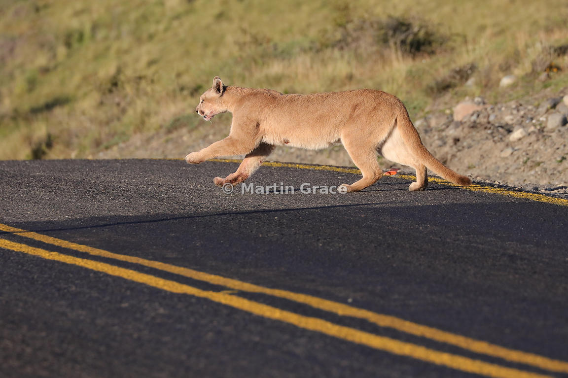 Female Patagonian Puma (Puma concolor patagonica), blood-stained from a fresh guanaco kill, crosses a road in the Torres del ...