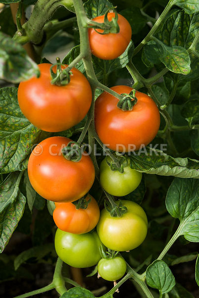 Tomatoes in the glasshouse. Clovelly Court, Bideford, Devon, UK