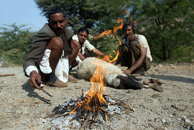 Sheep herders cauterize a wounded sheep with hot rocks from a fire, Makdol Mata temple (aka Jai Mata Di), Rajasthan, India