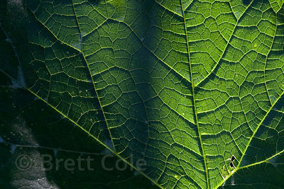 Detail of a backlit leaf in the Los Cusingos Reserve, Costa Rica.