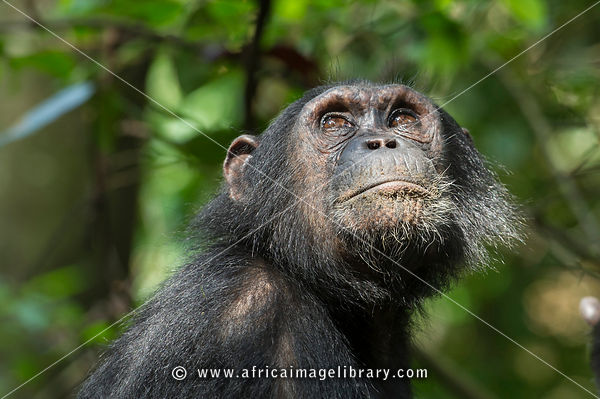 Chimpanzee, Pan troglodytes, Mahale Mountains National Park, Tanzania