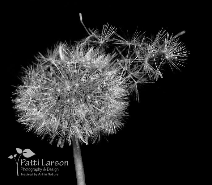 Dandelion – Spreading Its Seeds