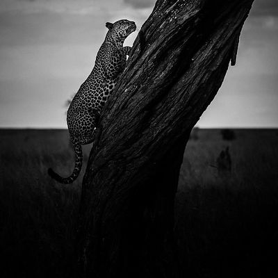 08761-Leopard_climbing_in_a_tree_Tanzania_2018_Laurent_Baheux
