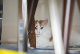 White and Orange Cat Hiding Under Chair